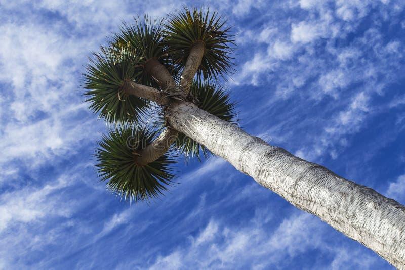Το δέντρο αίματος draco ή δράκων Dracaena είναι ενδημικές εγκαταστάσεις από Macaronesia στοκ φωτογραφίες με δικαίωμα ελεύθερης χρήσης
