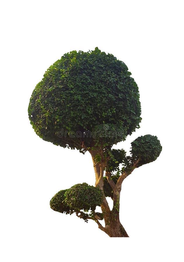 Το δέντρο μπονσάι απομονώνει στο άσπρο υπόβαθρο, εκλεκτική εστίαση στοκ φωτογραφία με δικαίωμα ελεύθερης χρήσης