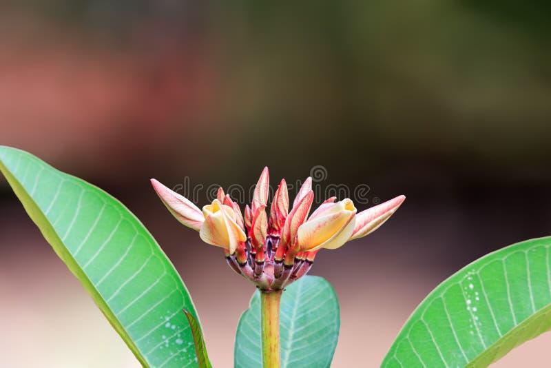 Το δέντρο ναών είναι όμορφο λουλούδι στο υπόβαθρο θαμπάδων στοκ εικόνες