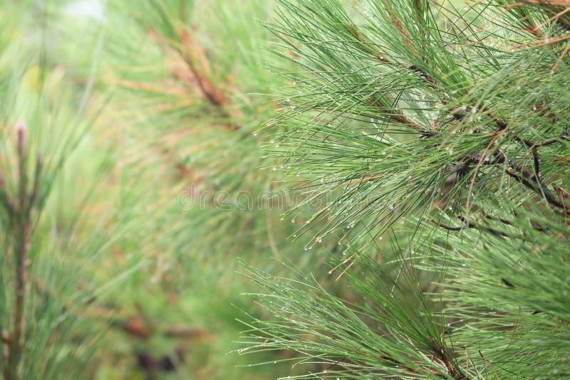 Το δέντρο πεύκων με τη δροσιά πρωινού στον κλαδίσκο, αφαιρεί το περιορισμένο βάθος φυσικών υποβάθρων του τομέα Μπορέστε να χρησιμ στοκ εικόνα