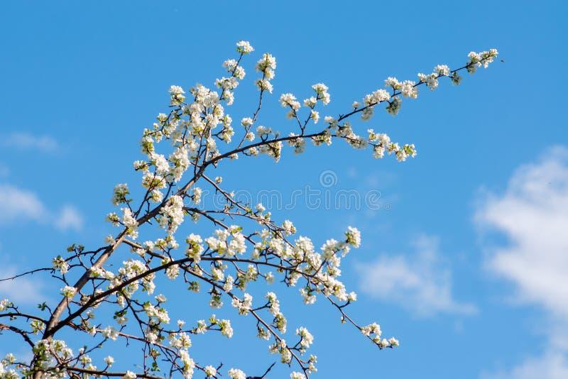 Το δέντρο της Apple άνθισε στα άσπρα λουλούδια στοκ εικόνες