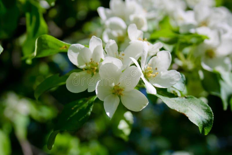 Το δέντρο της Apple άνοιξη ανθίζει άσπρα λουλούδια στοκ εικόνα