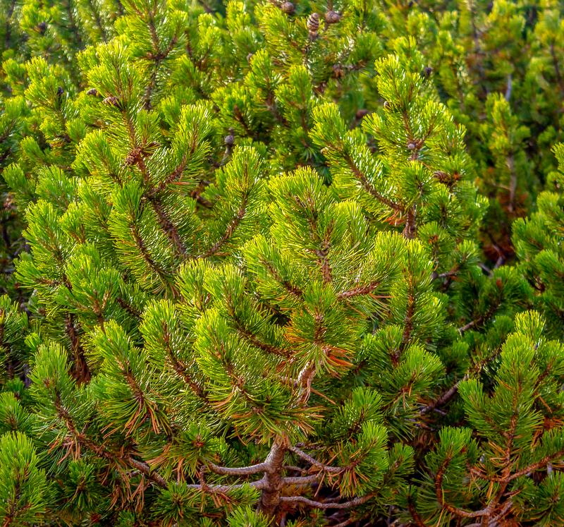 Το δέντρο του FIR διακλαδίζεται κοντά επάνω στοκ εικόνα