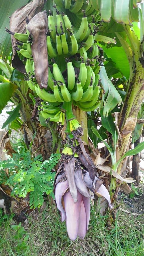 Το δέντρο Bananna με τα φρούτα μπανανών στοκ εικόνα με δικαίωμα ελεύθερης χρήσης