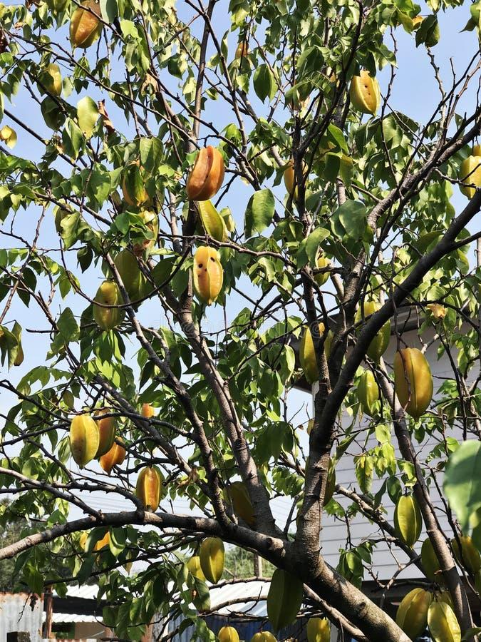 Το δέντρο Carambola παράγει τα φρούτα στοκ εικόνες με δικαίωμα ελεύθερης χρήσης