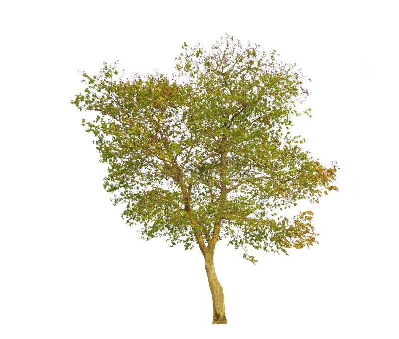 Το δέντρο floribunda Tabak ή Lagerstroemia, τροπικό δέντρο που απομονώνεται στο άσπρο υπόβαθρο με το ψαλίδισμα της πορείας στοκ εικόνες με δικαίωμα ελεύθερης χρήσης