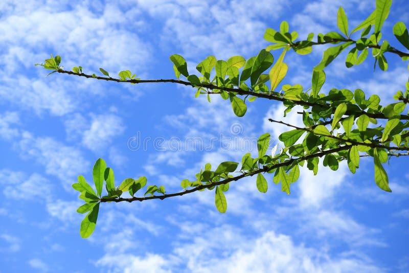 Το δέντρο Plumeria διακλαδίζεται με τα δονούμενα πράσινα φύλλα ενάντια στο δονούμενο μπλε ουρανό και τα άσπρα σύννεφα της Μπανγκό στοκ εικόνες