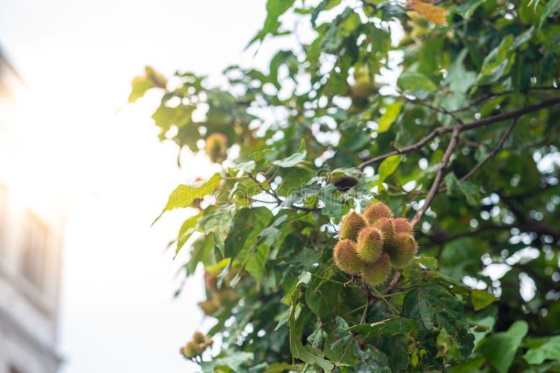 Το δέντρο urucum με την ένωση πολλών φρούτων στοκ φωτογραφία με δικαίωμα ελεύθερης χρήσης