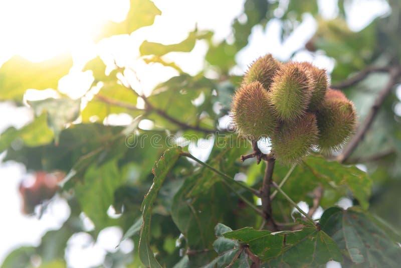 Το δέντρο urucum με την ένωση πολλών φρούτων στοκ εικόνες με δικαίωμα ελεύθερης χρήσης