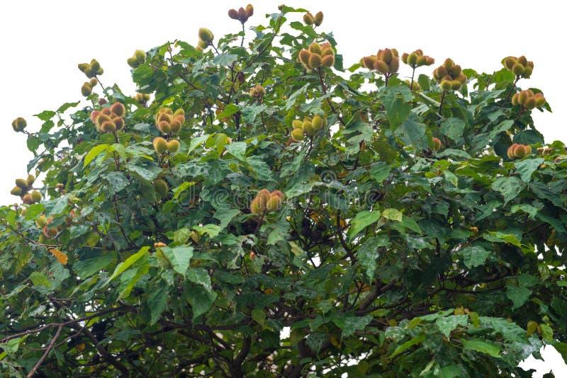 Το δέντρο urucum με την ένωση πολλών φρούτων στοκ εικόνα