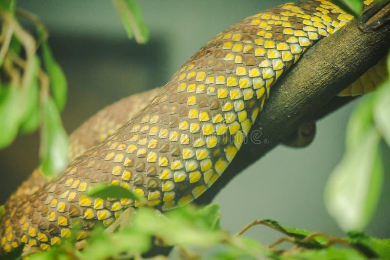 Το δέρμα της οχιάς κοιλωμάτων μαγγροβίων είναι κίτρινο στοκ φωτογραφία