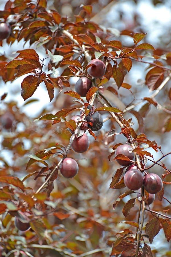 Το δαμάσκηνο αυτό είναι βαθμός cerasifera VAR κόκκινος-με φύλλα Pissardi Prunus pissardii με τα φρούτα στοκ εικόνες