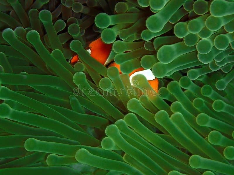 Το δυτικό Clownfish ή το Anemonefish στο σημείο Barracuda, νησί Sipadan Semporna, Tawau Sabah Μαλαισία, Μπόρνεο στοκ φωτογραφία