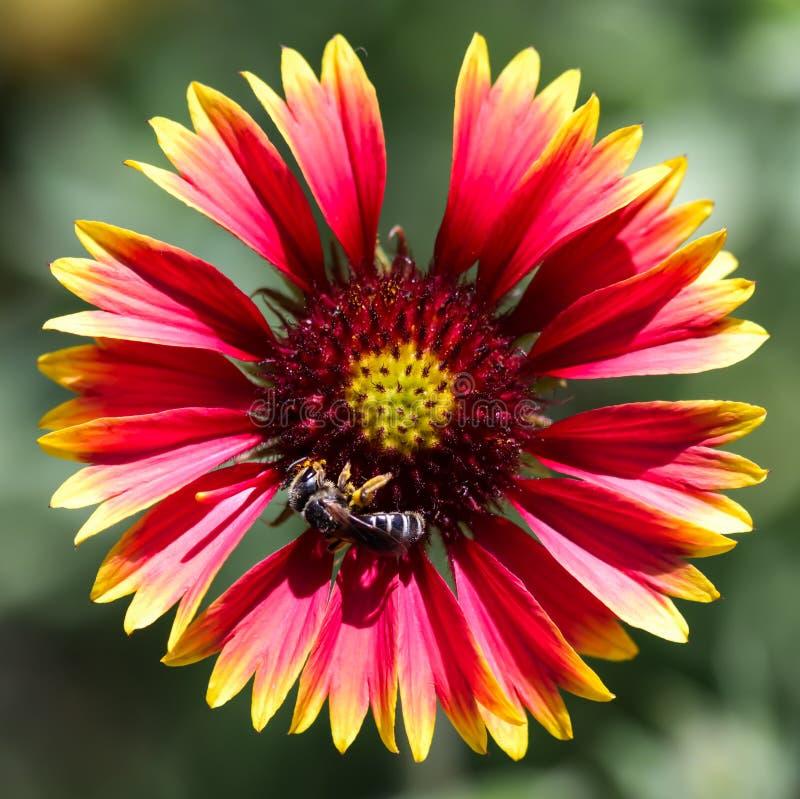 Το εγγενές λουλούδι Gaillardia στοκ εικόνες