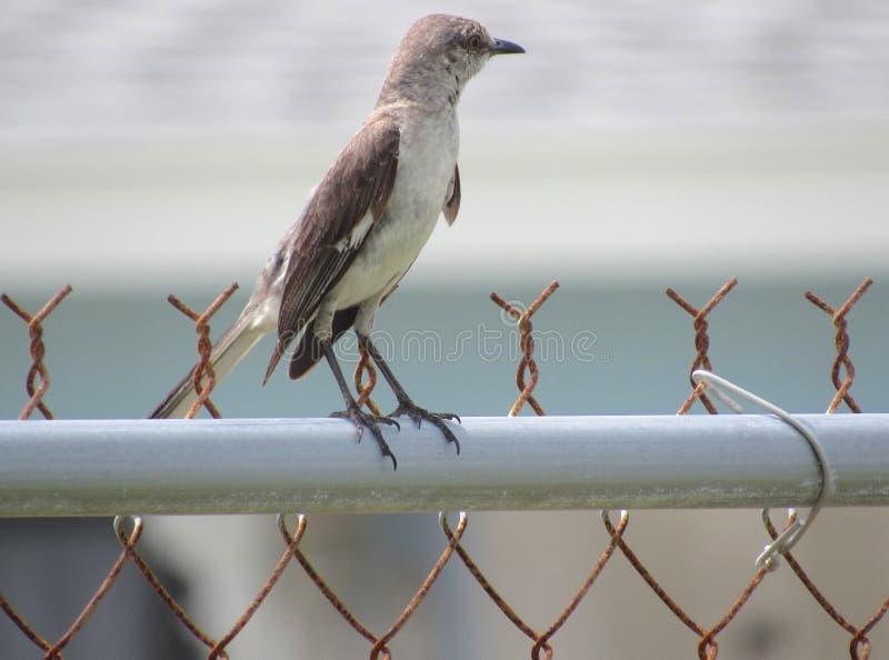 Το εγγενές πουλί Thrasher γνωρίζει πάντα πολύ τα περίχωρά του στοκ φωτογραφία με δικαίωμα ελεύθερης χρήσης