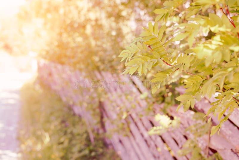 Το ειδυλλιακό αγροτικό τοπίο του δέντρου σορβιών διακλαδίζεται με τα πράσινα φύλλα και έναν παραδοσιακό ξύλινο φράκτη από έναν δρ στοκ φωτογραφία