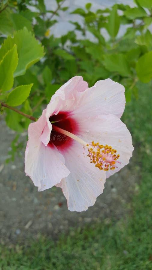 Το ελληνικά ροζ/το κόκκινο λουλουδιών με στοκ φωτογραφίες