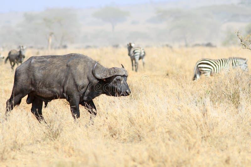 Το ενήλικο αρσενικό των αφρικανικών βούβαλων στοκ εικόνες