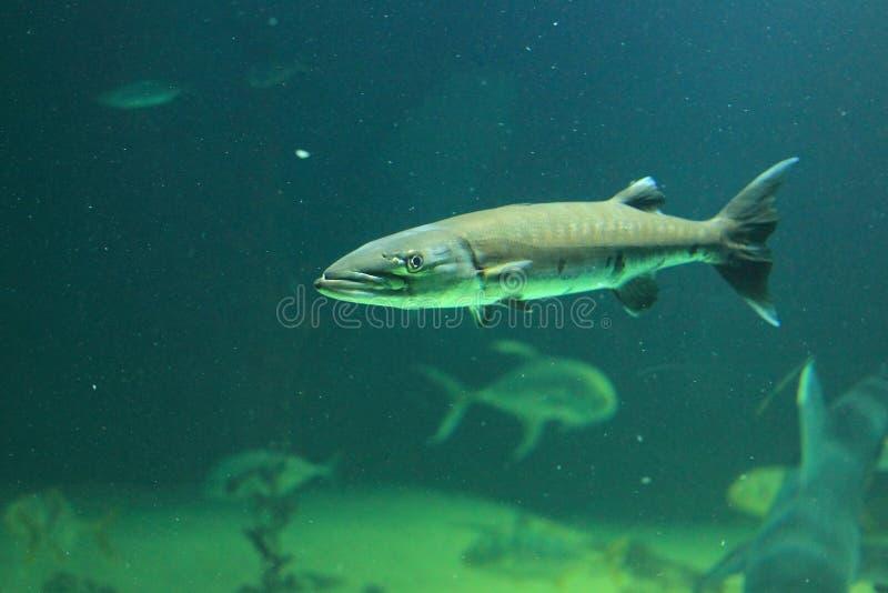 Barracuda στοκ εικόνες με δικαίωμα ελεύθερης χρήσης