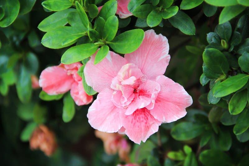 Το ενιαίο ζωηρόχρωμο γλυκό ρόδινο hibiscus sinensis Rosa ανθίζει την άνθιση στο διακοσμητικό πράσινο υπόβαθρο φύλλων φύσης στον κ στοκ εικόνα