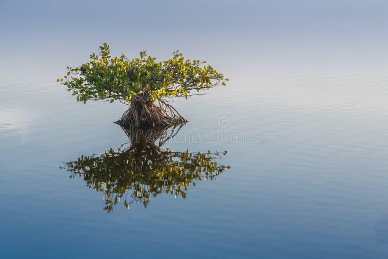 Το ενιαίο νέο διακυβευμένο μαγγρόβιο απεικονίζει στο ήρεμο νερό στοκ φωτογραφία με δικαίωμα ελεύθερης χρήσης