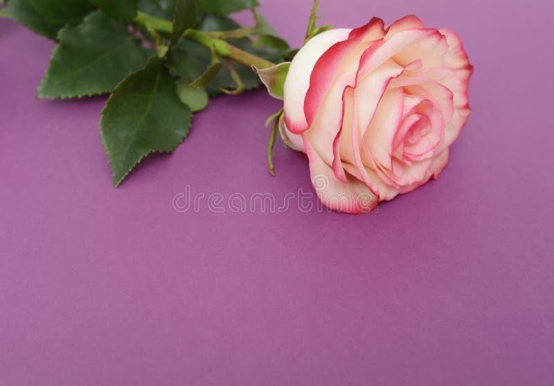 Το ενιαίο ροζ και αυξήθηκε στο πορφυρό υπόβαθρο στοκ εικόνα