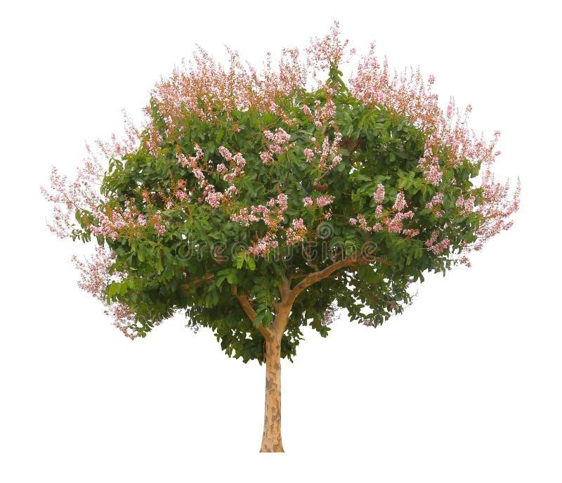 Το ενιαίο ρόδινο ανθίζοντας δέντρο που απομονώνονται στο άσπρο υπόβαθρο για το σκοπό σχεδίου, το φυτό floribunda Lagerstroemia ή  στοκ φωτογραφία με δικαίωμα ελεύθερης χρήσης