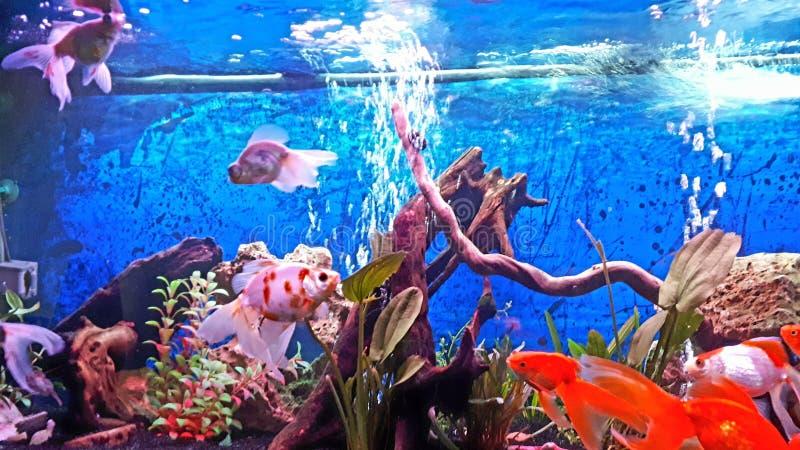 Το ενυδρείο μου με την ουρά πέπλων goldfishes & x28 panda, schubukin, & x29  στοκ φωτογραφία με δικαίωμα ελεύθερης χρήσης