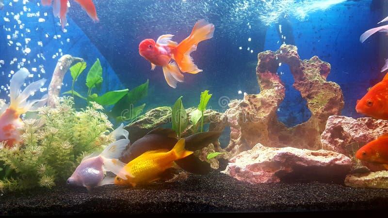 Το ενυδρείο μου με το vail teil goldfishes στοκ φωτογραφία