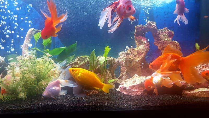 Το ενυδρείο μου με το vail teil goldfishes στοκ φωτογραφία με δικαίωμα ελεύθερης χρήσης
