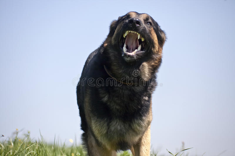 Το επιθετικό σκυλί τρέχει κοντά με το ανοιγμένο στόμα στοκ φωτογραφίες