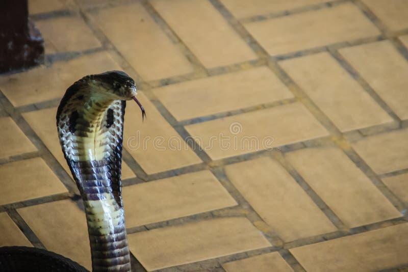 Το επικίνδυνο monocled cobra γλιστρά μπαίνοντας σε το σπίτι Το μονόκλ στοκ εικόνα