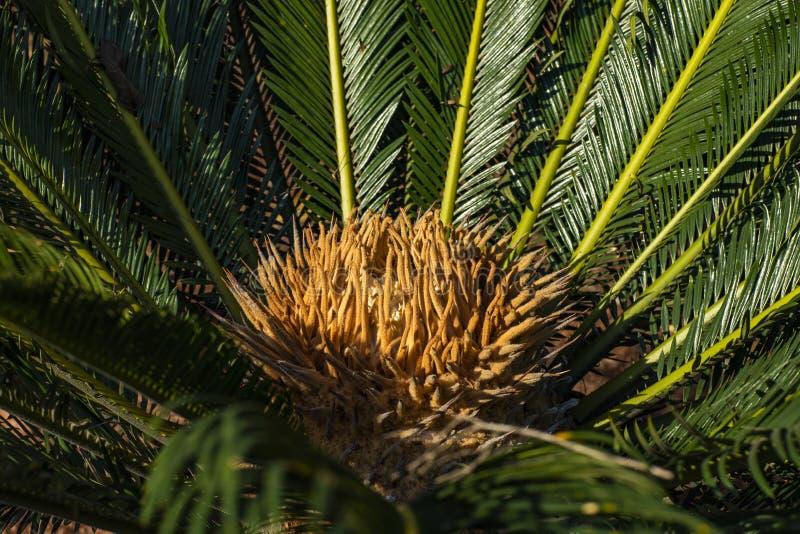 Το επιστημονικό όνομα Cycad είναι circinalis Λ Cycas Οικογένειες Cycadaceae Στενός επάνω Cycas με το lyzard στην καρδιά του φοίνι στοκ εικόνες
