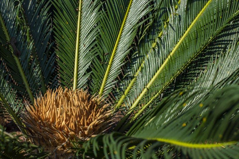 Το επιστημονικό όνομα Cycad είναι circinalis Λ Cycas Οικογένειες Cycadaceae Στενός επάνω Cycas με το lyzard στην καρδιά του φοίνι στοκ φωτογραφίες με δικαίωμα ελεύθερης χρήσης