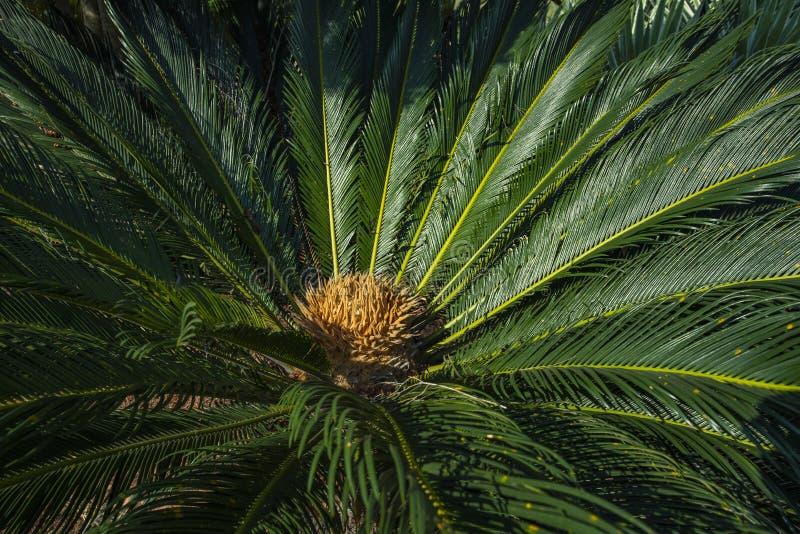 Το επιστημονικό όνομα Cycad είναι circinalis Λ Cycas Οικογένειες Cycadaceae Στενός επάνω Cycas με το lyzard στην καρδιά του φοίνι στοκ φωτογραφίες
