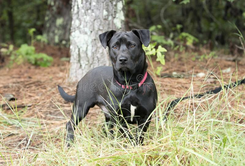 Το εργαστήριο ανάμιξε το σκυλί φυλής έξω στο λουρί στοκ εικόνα με δικαίωμα ελεύθερης χρήσης