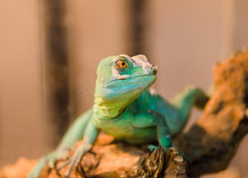 Το ερπετό είναι η κοινή συνεδρίαση βασιλίσκων σε ένα δέντρο σε ένα κατάστημα κατοικίδιων ζώων στοκ εικόνες με δικαίωμα ελεύθερης χρήσης