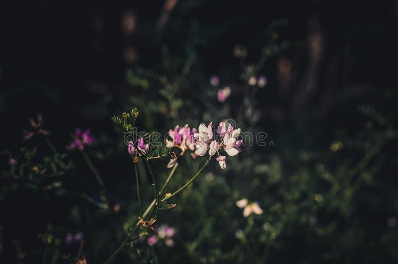 Το ετερόκλητο varia Coronilla Vyazel πιάνει τις πρώτες ακτίνες ήλιων Η αρχή μιας νέας θερινής ημέρας σε ένα δασικό ξέφωτο Σκοτειν στοκ φωτογραφία με δικαίωμα ελεύθερης χρήσης