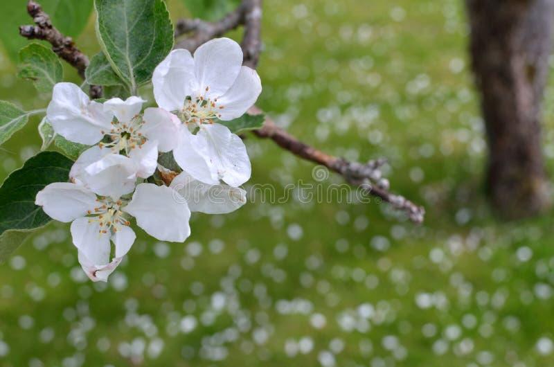 Το λευκό ανθίζει από ένα δέντρο μηλιάς στοκ φωτογραφίες με δικαίωμα ελεύθερης χρήσης