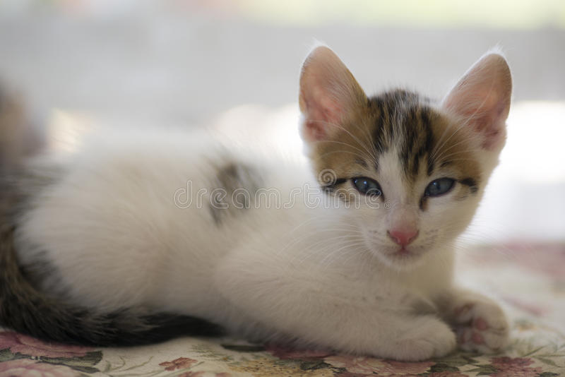 Το λευκό η γάτα στοκ εικόνες