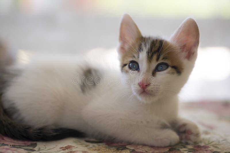 Το λευκό η γάτα στοκ εικόνα με δικαίωμα ελεύθερης χρήσης