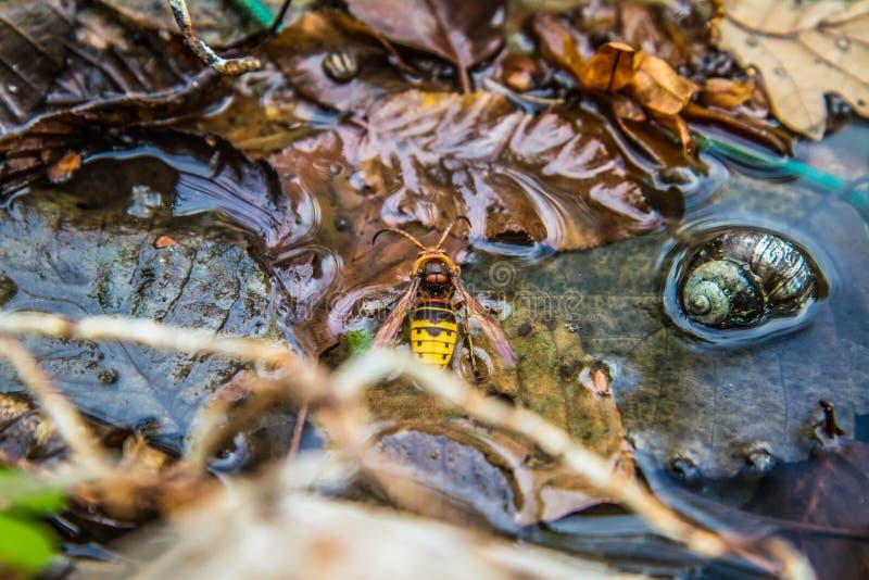 Το ευρωπαϊκό hornet στοκ εικόνες με δικαίωμα ελεύθερης χρήσης