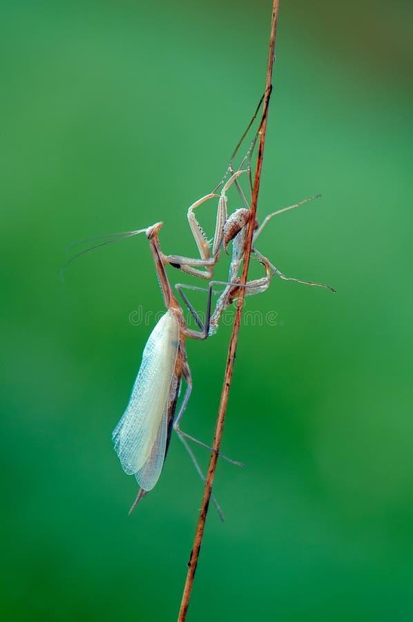 Το ευρωπαϊκό religiosa Mantis mantis μετά από το επόμενο moult το ενήλικο ζώο προκύπτει στοκ φωτογραφίες