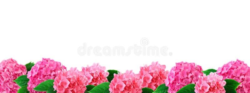 Το ευρύ hydrangea συνόρων ανθίζει το ρόδινο λουλούδι hortensia με τα φύλλα στο λευκό στοκ εικόνα
