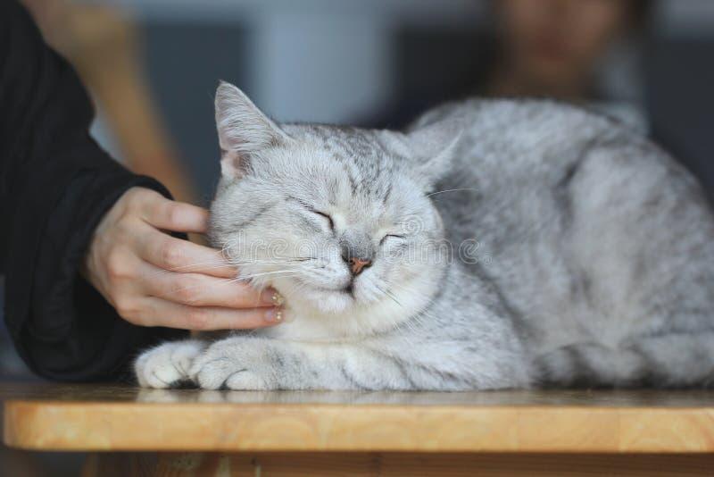 Το ευτυχές γατάκι επιθυμεί κτύπημα από το χέρι της γυναίκας, αγάπη για τα ζώα στοκ εικόνες με δικαίωμα ελεύθερης χρήσης
