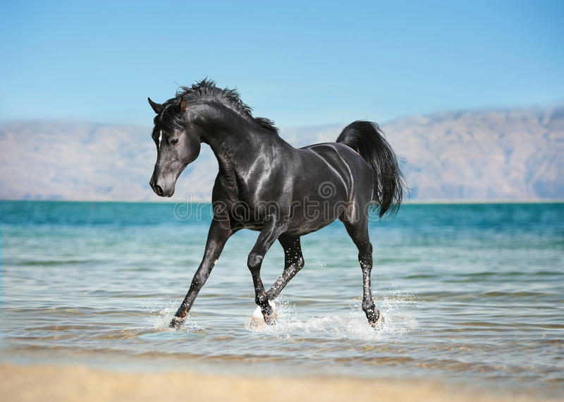 Το ελεύθερο μαύρο αραβικό άλογο τρέχει τη γούρνα οι παφλασμοί του νερού στοκ φωτογραφία με δικαίωμα ελεύθερης χρήσης