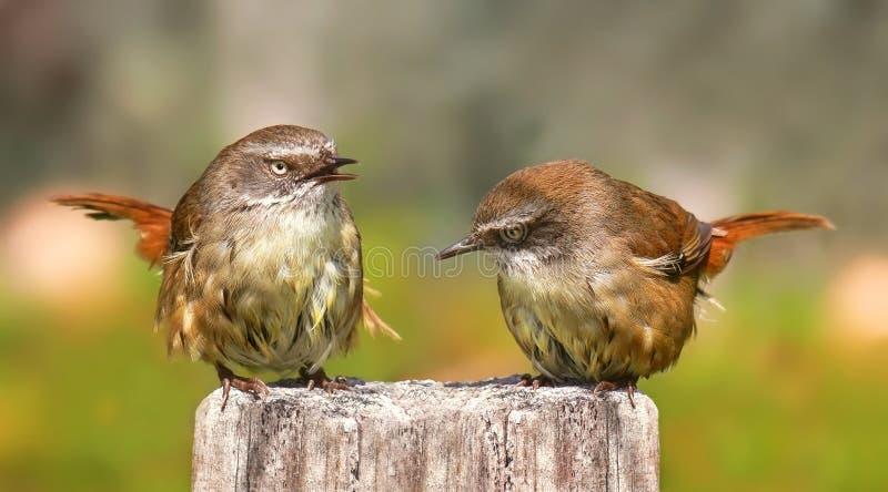 το ζευγάρι τρίβει wrens στοκ εικόνα