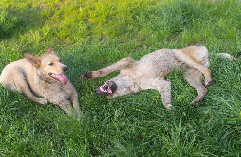 Το ζευγάρι των νεολαιών διασταυρώνει τα περιπλανώμενα σκυλιά παίζοντας σε μια χλόη άνοιξη στοκ εικόνες με δικαίωμα ελεύθερης χρήσης