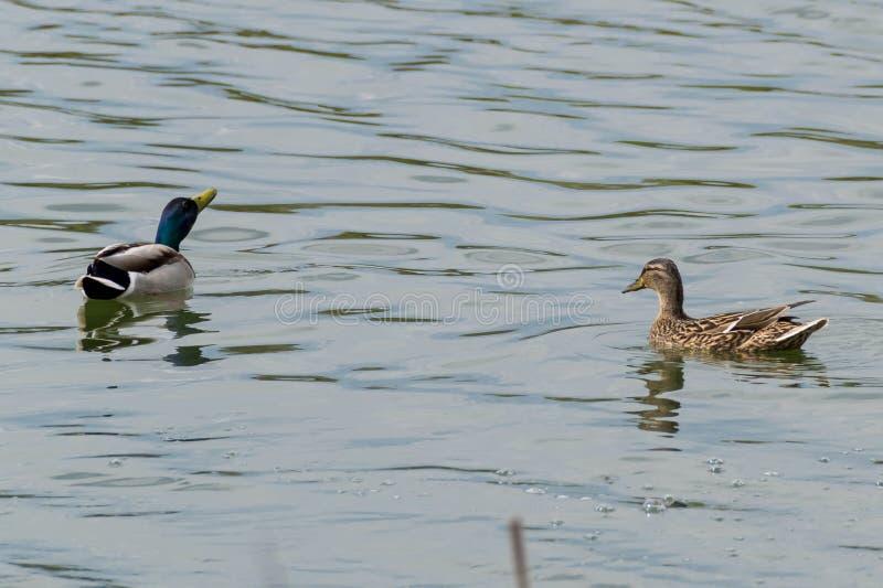Το ζευγάρι των παπιών κολυμπά στοκ φωτογραφίες