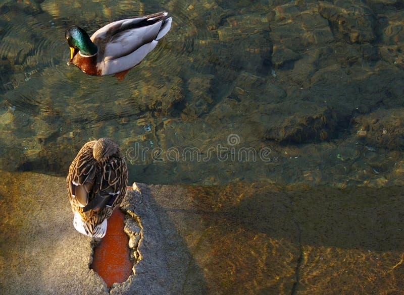 Το ζευγάρι των πρασινολαιμών, πάπιες, χαλαρώνει στη λίμνη στοκ φωτογραφία με δικαίωμα ελεύθερης χρήσης